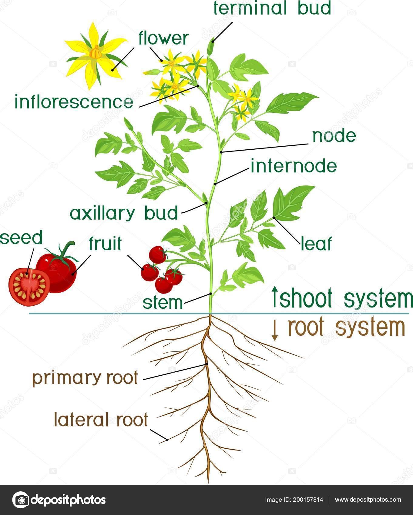 Partes Planta Morfologia Planta Tomate Floracion Con