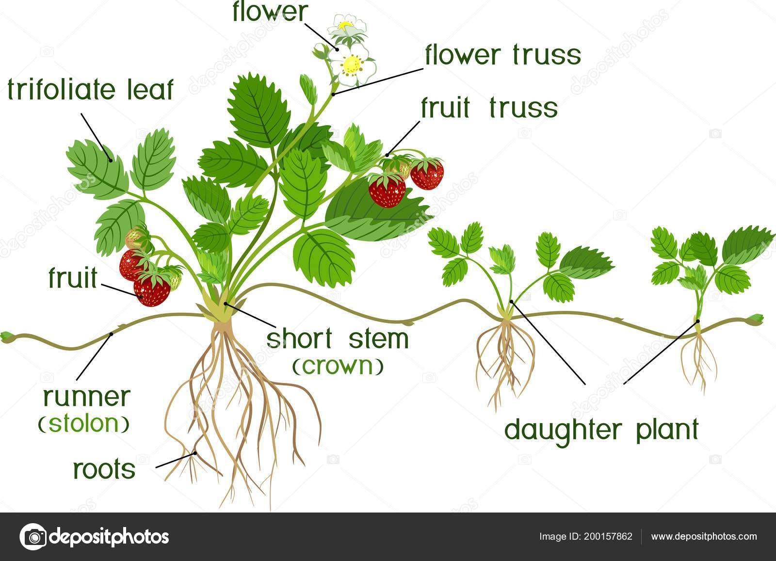 Parts Plant Morphology Garden Strawberry Plant Roots