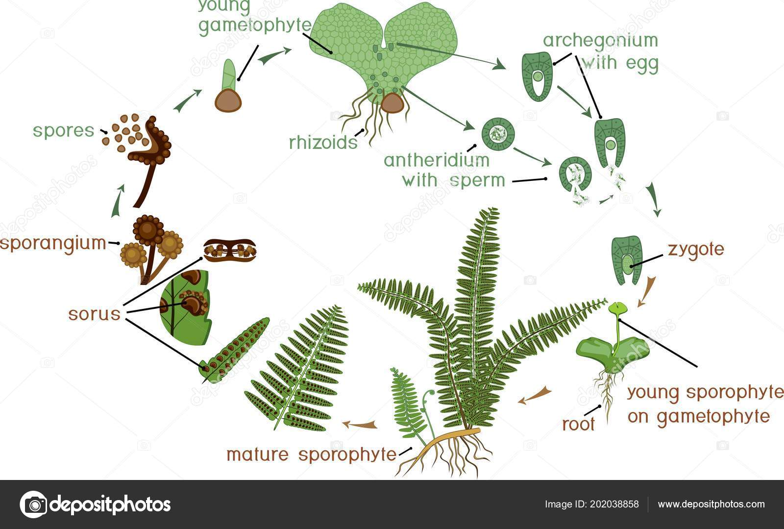 Life Cycle Fern Plant Life Cycle Alternation Diploid