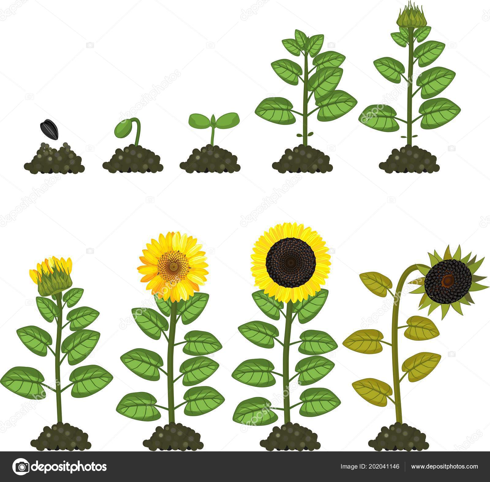 Sunflower Life Cycle Growth Stages Seed Flowering Fruit