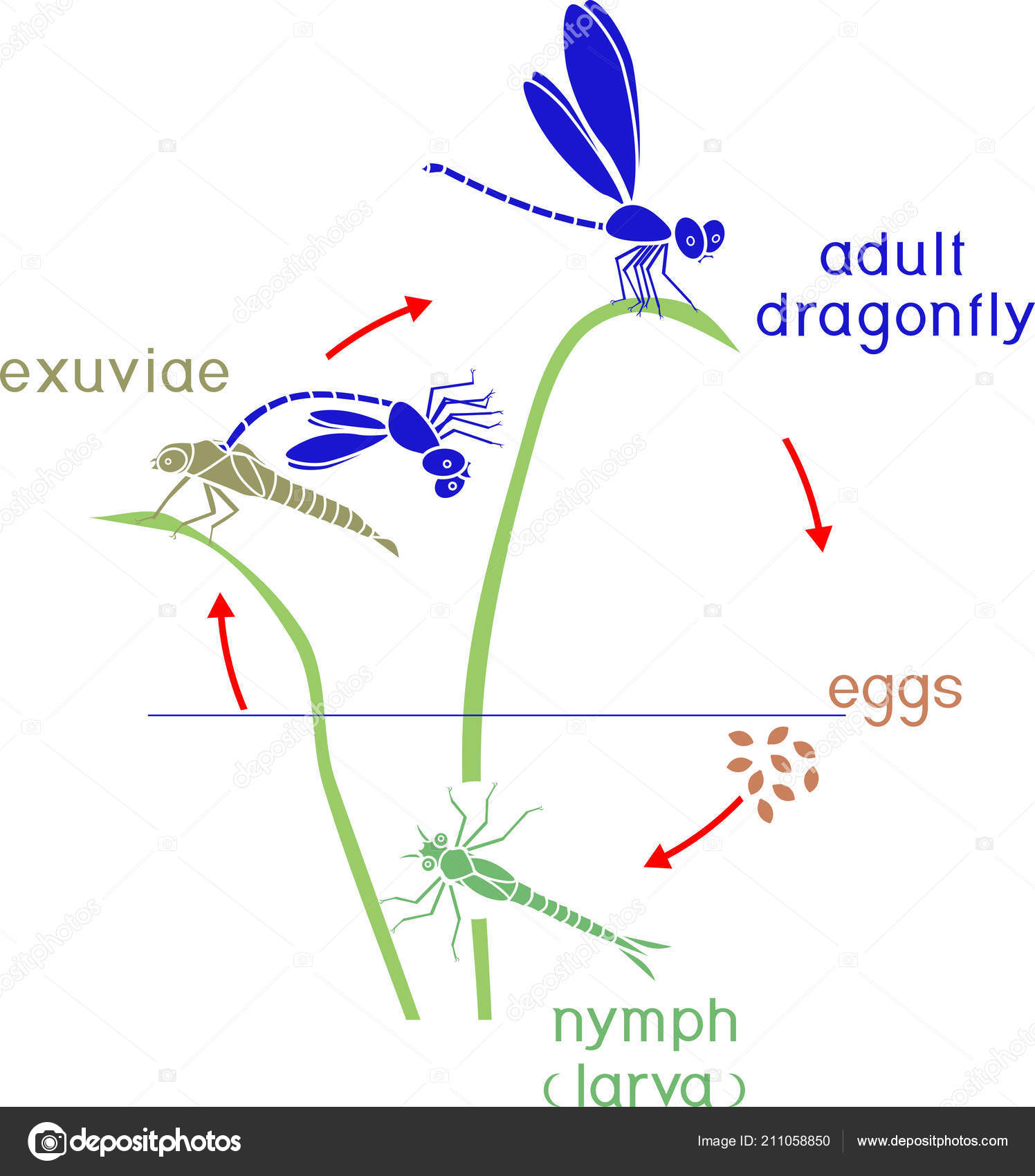 Images Dragonfly Life Cycle