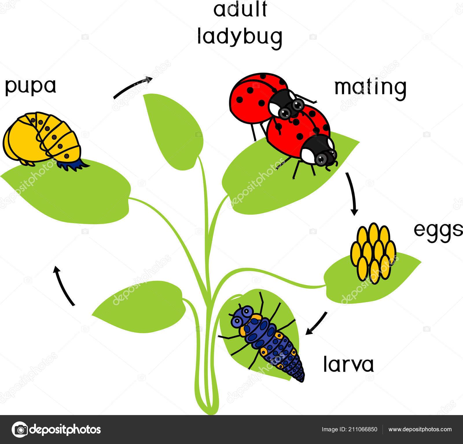Life Cycle Ladybug Sequence Stages Development Ladybug Egg