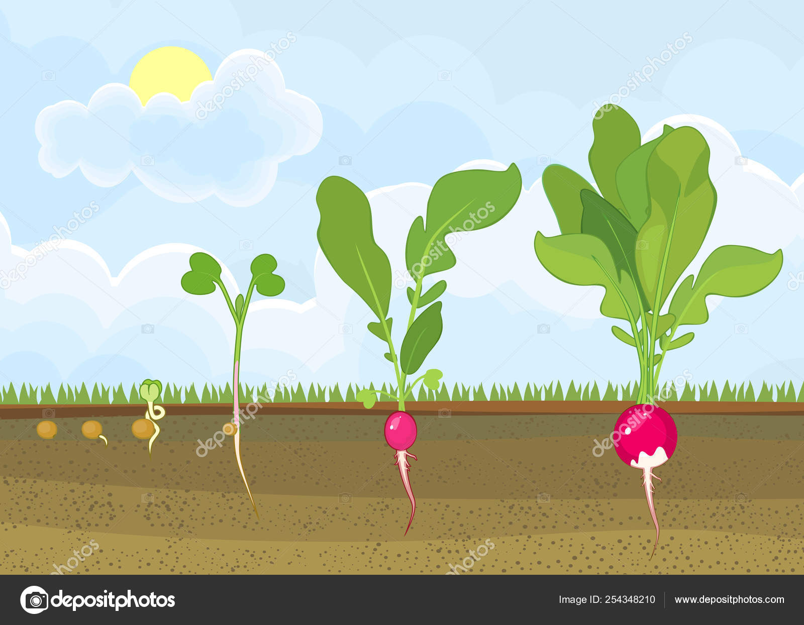 Life Cycle Radish Plant Stages Radish Growth Seed Sprout