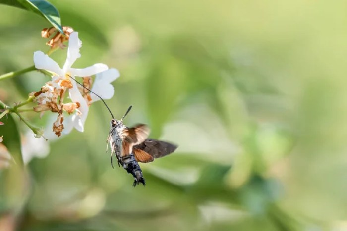 hummingbird hawk-moth on flower. Macroglossum stellatarum hovering over  flower while preparing its long proboscis to collect nectar. Blurred  background. | Stock Images Page | Everypixel