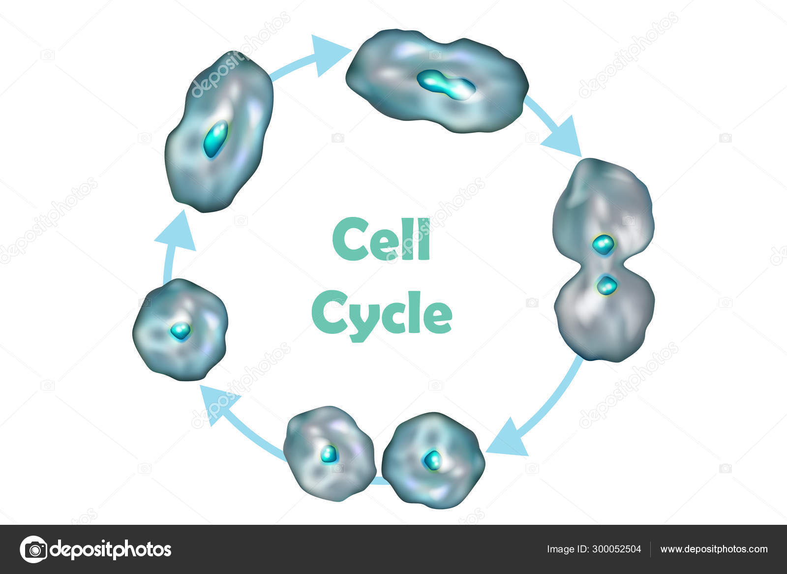 Cell Cycle Cell Division Quiescence Growth Dna Replication