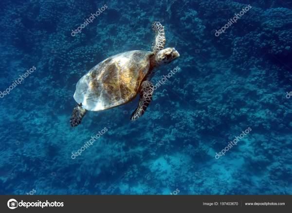 Морская Черепаха Плавает Воде Прозрачный Синий Океан ...