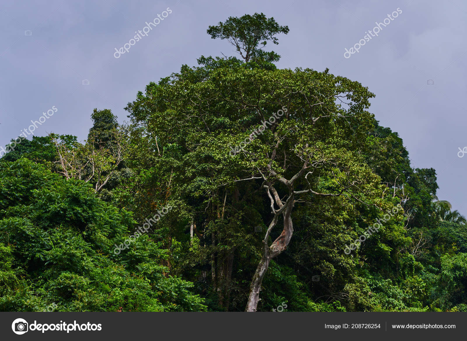 Shop from the widest range of wallpapers in every colour & Big Tree Forest Deep Tropical Jungles Southeast Asia Dense Tropical Stock Photo By C Eskstock Gmail Com 208726254