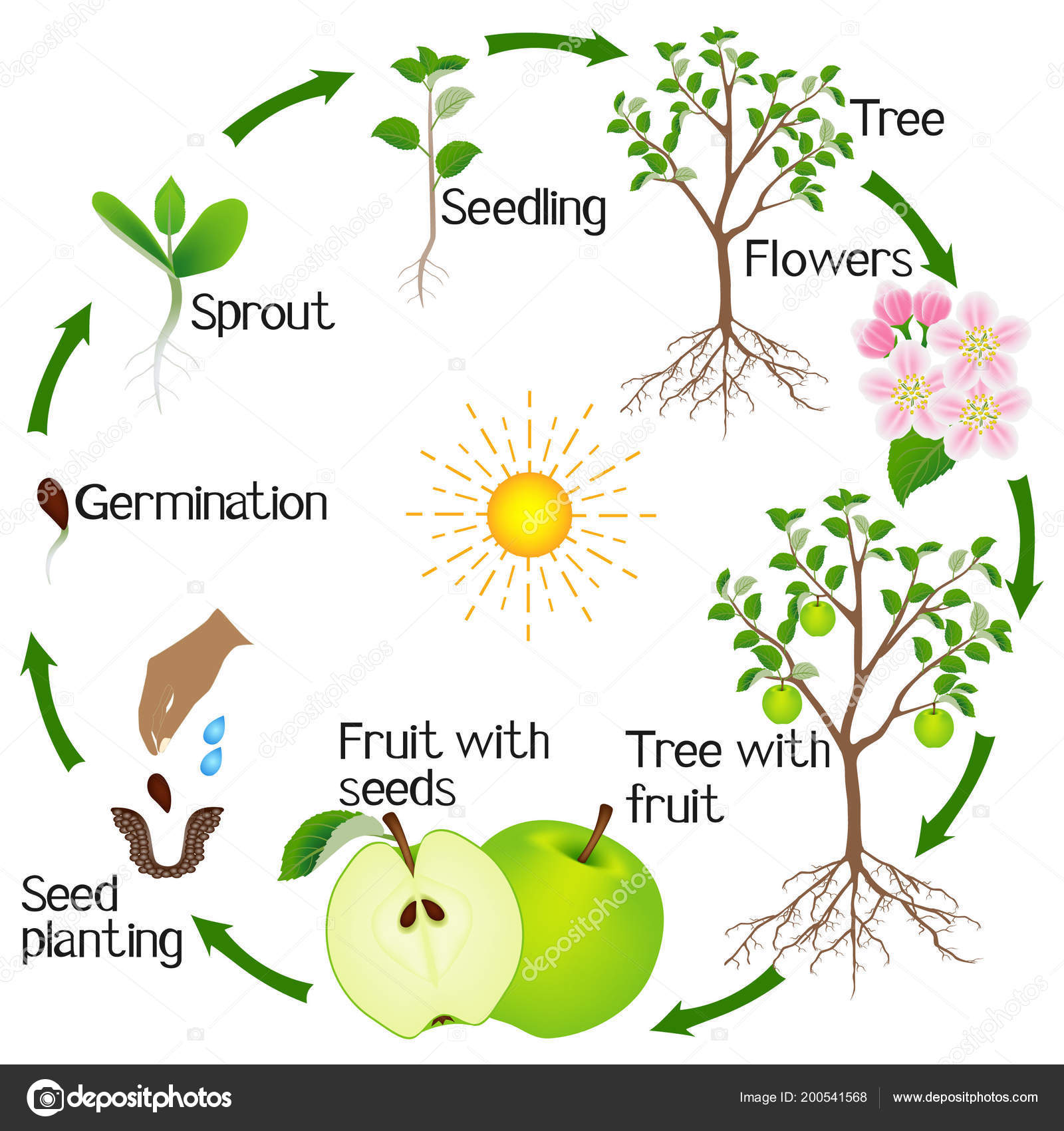 Apple Tree Life Cycle Isolated White Background