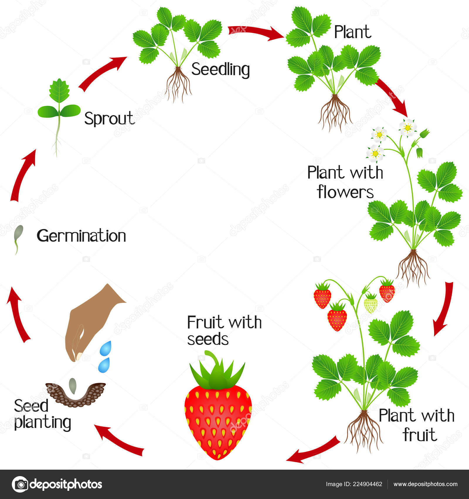 Life Cycle Strawberry Plant White Background