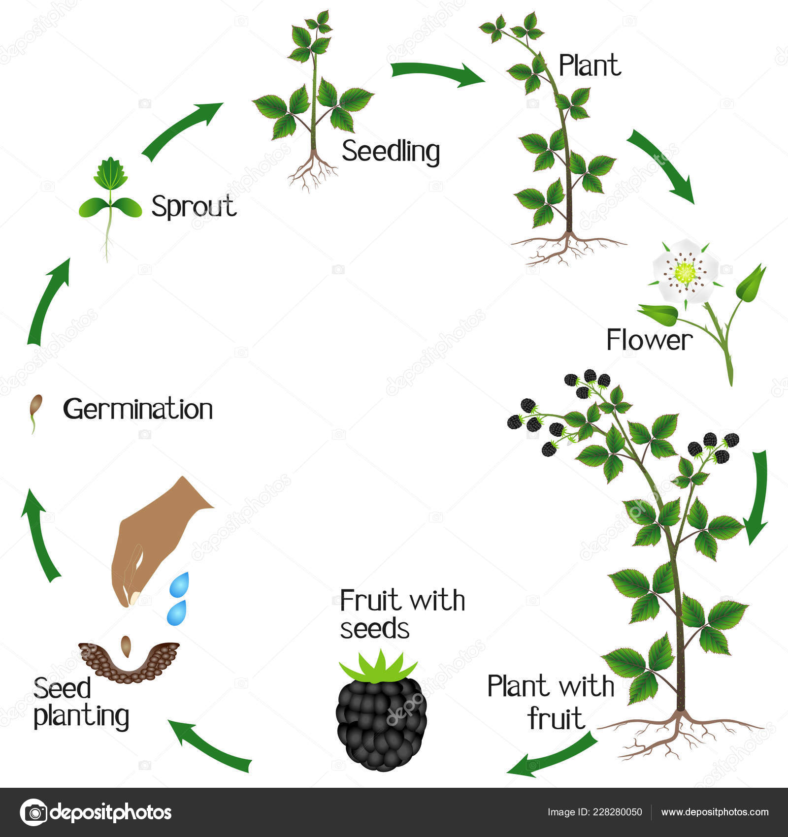 Life Cycle Blackberry Plant White Background