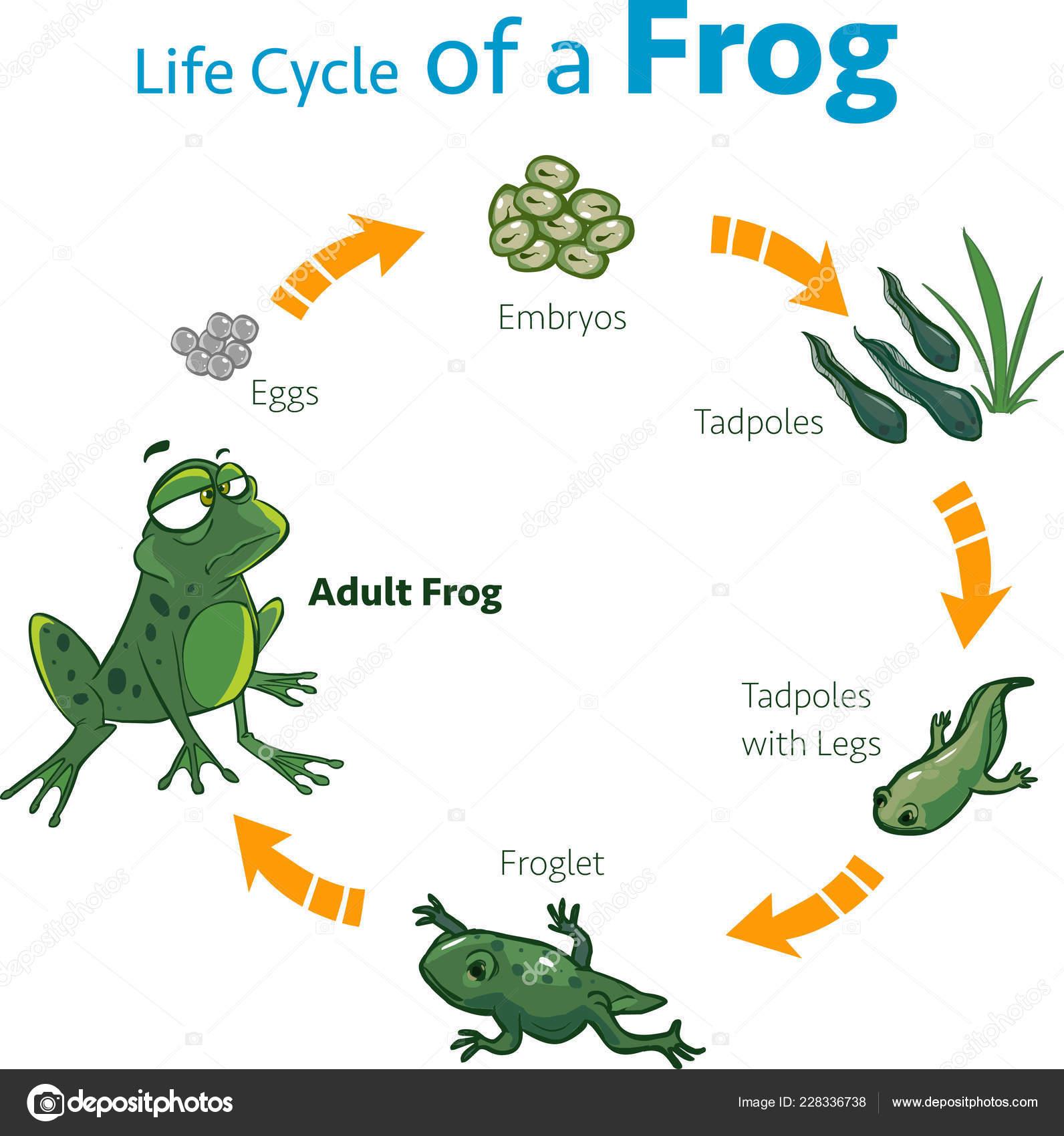 Vector Ilustracion De Un Ciclo De Vida De Una Rana