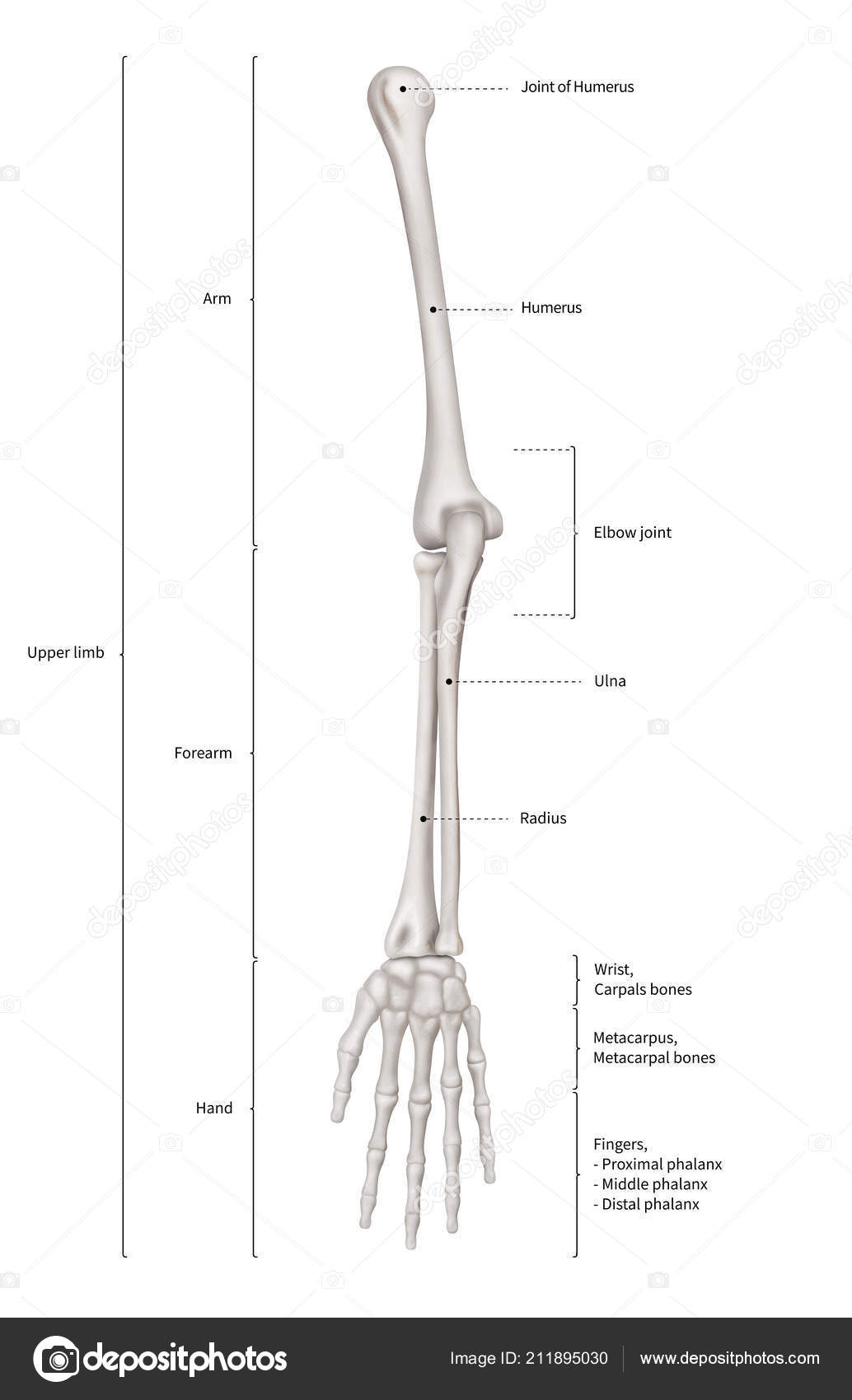 3d Human Body Diagram
