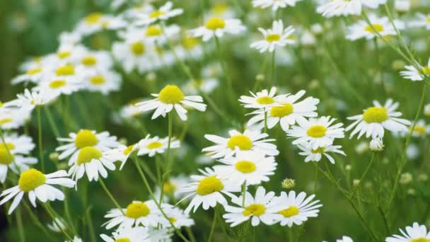 Wild flowers. Close-up shot of blooming white daisies in the summer field.  4K ⬇ Video by © ActionStore Stock Footage #206193838