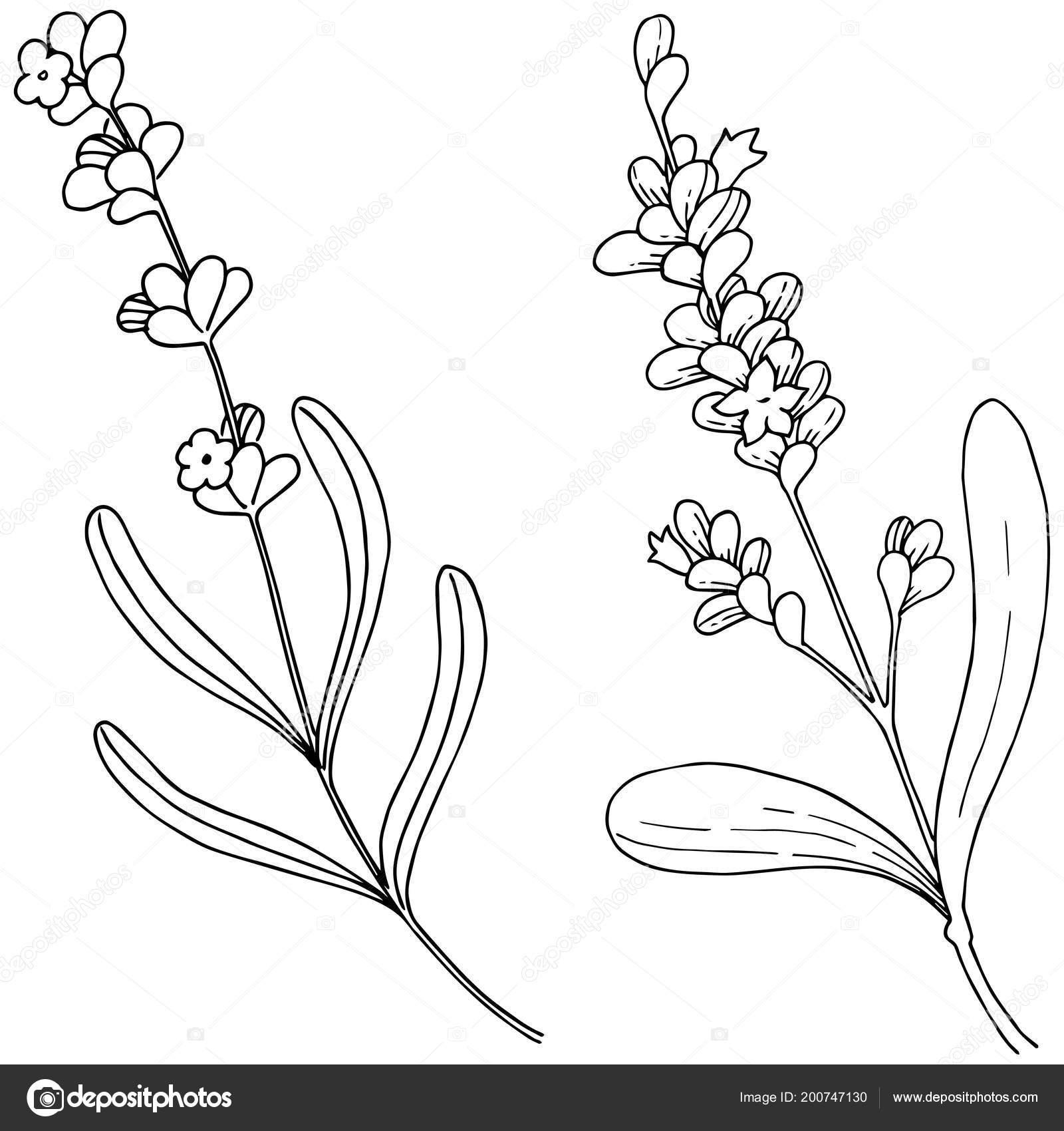 Lavender Flower Vector Style Isolated Full Name Plant
