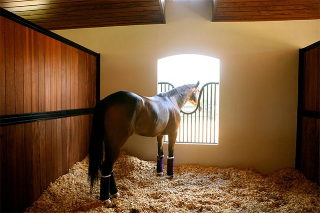 A horse relaxing in a spacious stall