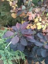 Cryptomeria japonica 'Elegans', Juniperus squamata 'Holger', Cotinus ' Royal Purple', Cornus ' Mid Winter'.