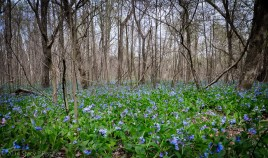 Within a forest of still leafless trees, a field of bluebells blooms.