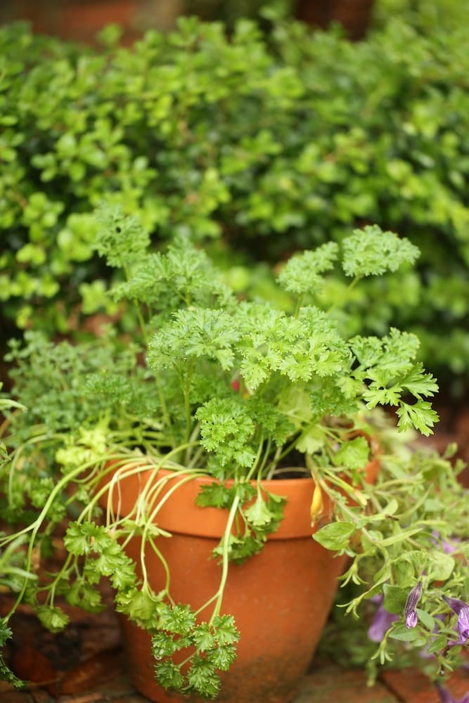 Parsley in Planter