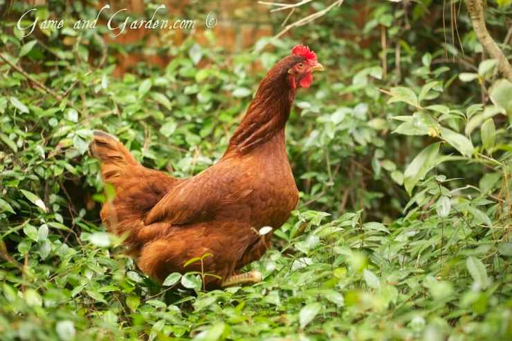 Running Chicken