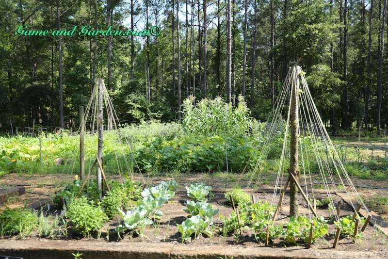 Trellis made with small trees and twine