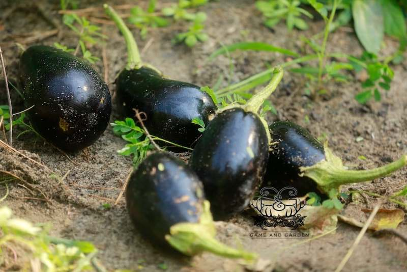 Eggplant is fantastic used in place of pasta in lasagna type dishes or simply used as the main ingredient in eggplant hummus.