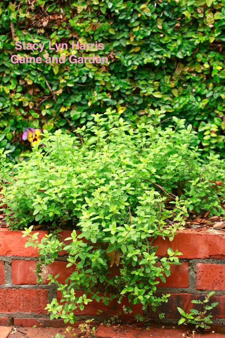 I love growing herbs in my courtyard planters! It's gorgeous and edible - both of my favorite things...
