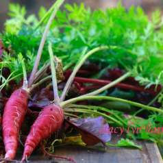 Growing Carrots: Carrots have the highest content of vitamin A of any vegetable. That's what causes the bitter taste when the carrot gets too big.