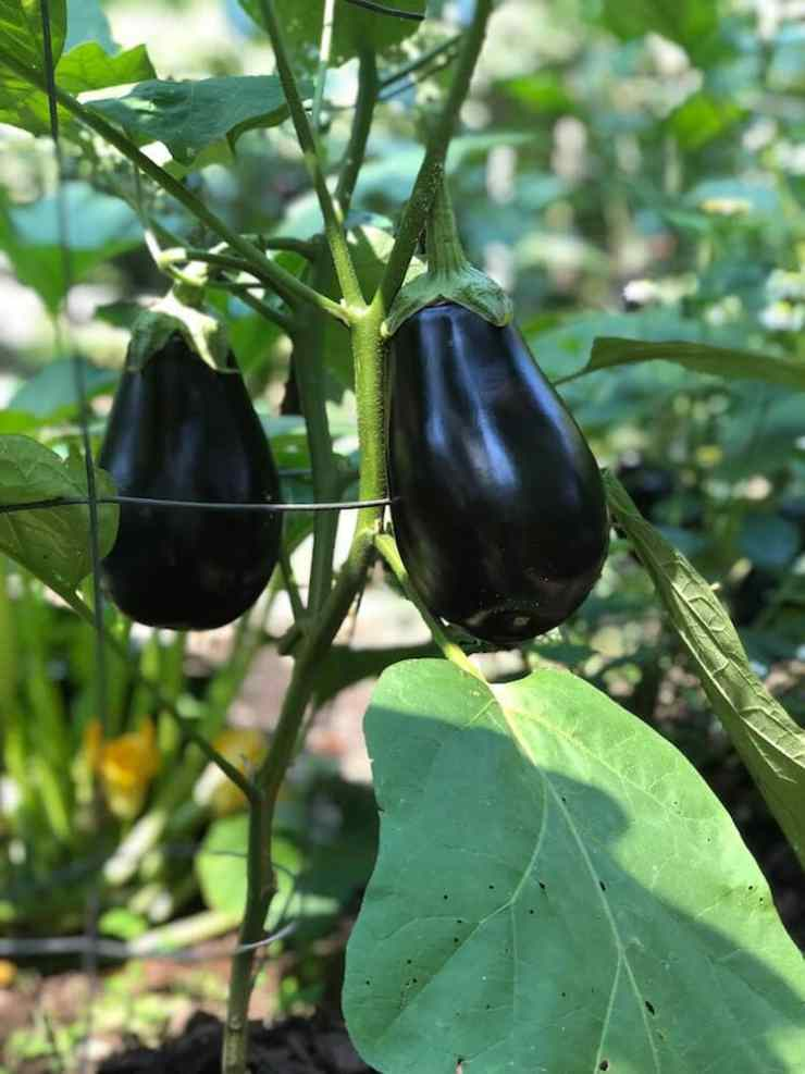 Eggplants from stacy lyn harris's garden, ready for harvest
