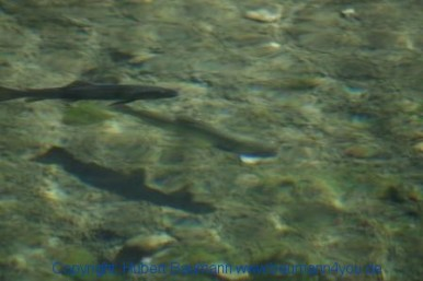 Grossarltal 459 Lachsforellen im Ötzlsee