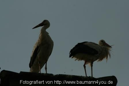 Klapperstorch in Salem - Bodensee