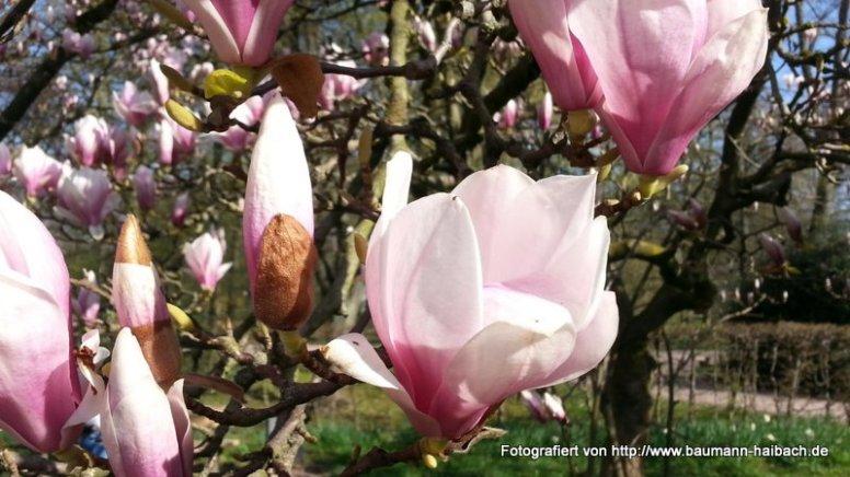 Magnolienblüte im Schöntal / Aschaffenburg