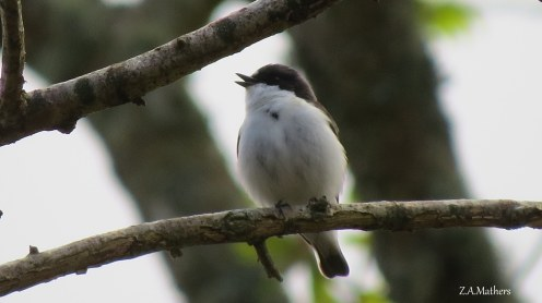 pied fly