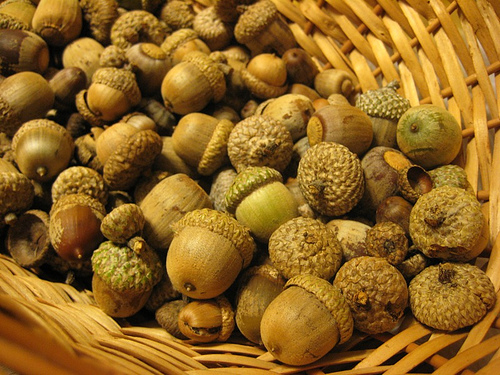 Acorns: Lore and Uses (1/4)