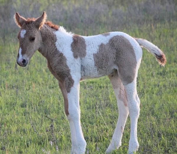 2012 foals Stag Creek Farm Curly Horses more