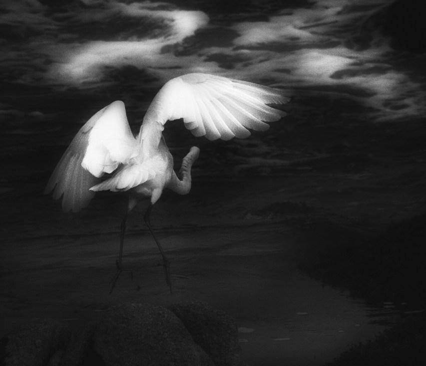 White Heron © Bob Sadler