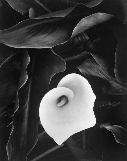 """Cala Lily, Medford, OR, 1975 from the """"Mother of Pearls"""" portfolio -- a tribute to Minor White © William Giles."""