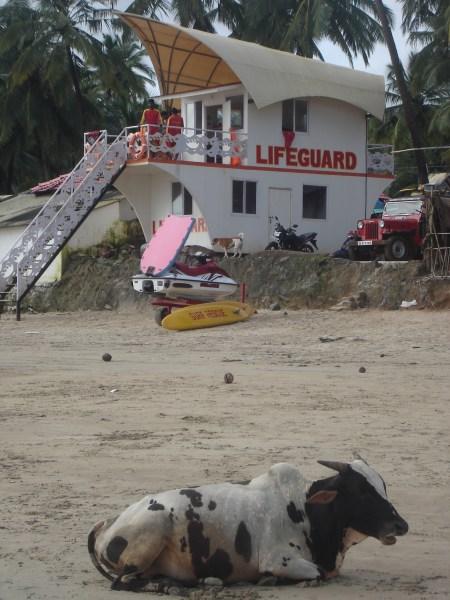 Inde Goa la vache zen