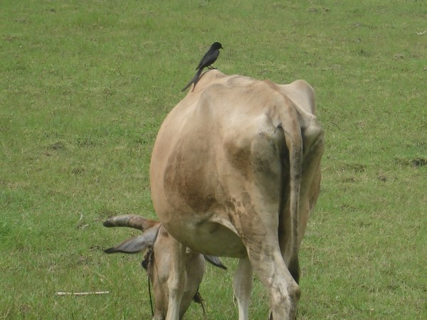 vache inde