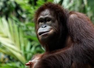 Urangutan - tips for better travel photos