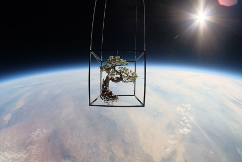 A photograph showing Azuma Makoto bonsai sent into space in 2014.