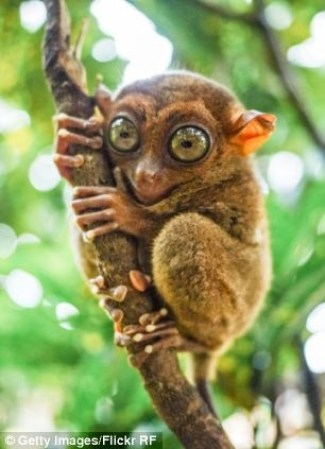 A photograph showing a Tarsier - a small species of primate that is found inhabiting the well-vegetated forests on a number of islands in south-east Asia.