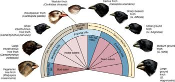 A chart showing the different types of Galapagos finches and their specific diets.