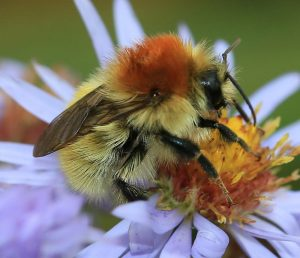 A close-up photograph of a Moss Carder bee and Aster flower.
