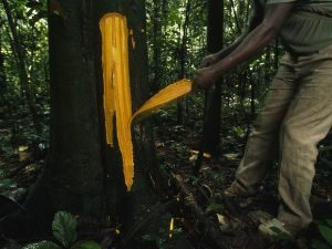 A photograph showing a plantation worker stripping the bark off a Cinchona Tree.