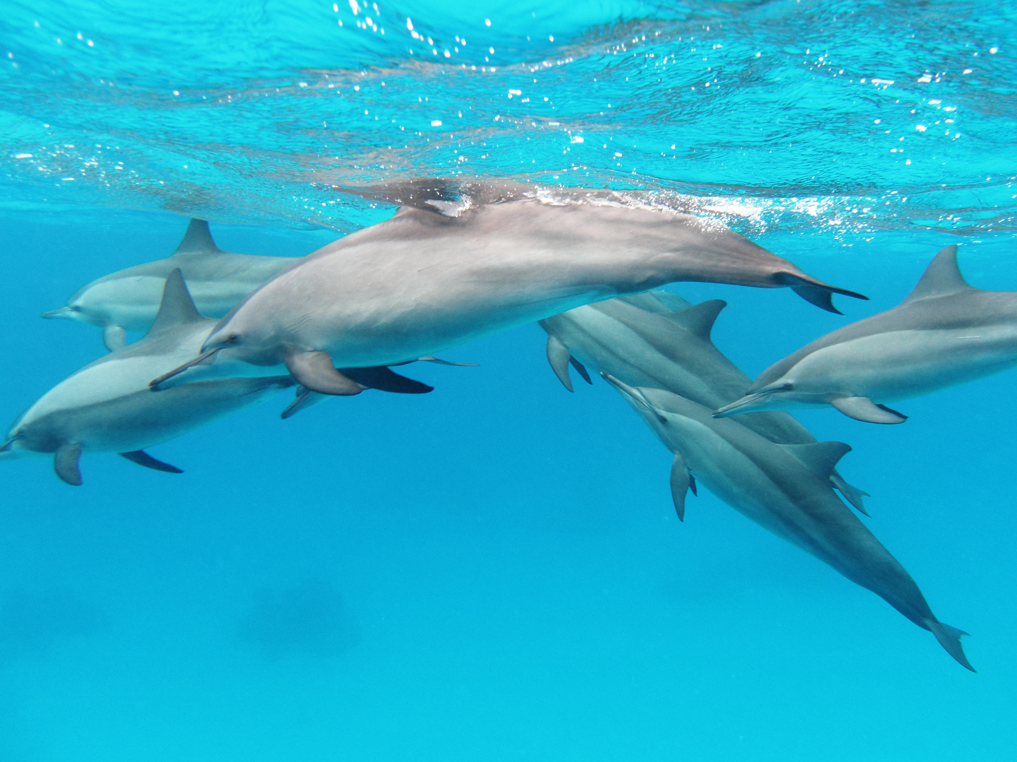 A pod of spinner dolphins in the Red Sea © Wikimedia Commons