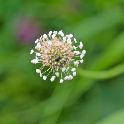 The starry little flower of the Ribwort Plantain