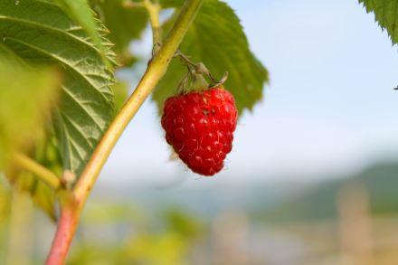 raspberry grown on organic soil