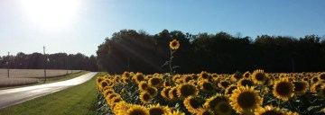 cropped-cropped-sunflower.jpg
