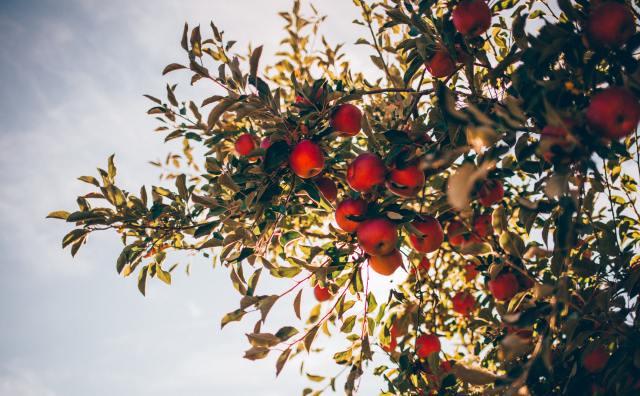 pommes-quebec