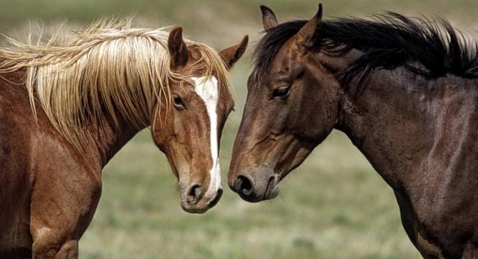 caballos-se-comunican-moviendo-orejas